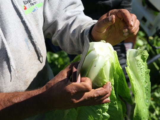 Raul Murillo trims a head of romaine, removing the