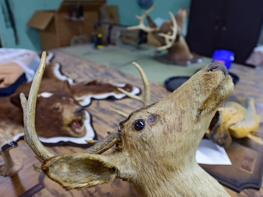 Ness Taxidermy, LLC in Seven Valleys works on animals from all over the world. Taxidermist Alan Kauffman says October, November and December are the busiest months in the taxidermy business as hunters bring in deer.