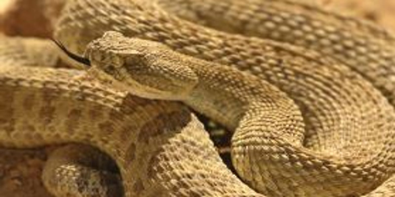 4 things you need to know about prairie rattlesnakes