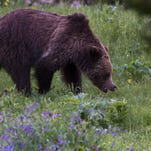 A grizzly bear roams near Beaver Lake in Yellowstone National Park, Wyoming in 2011.