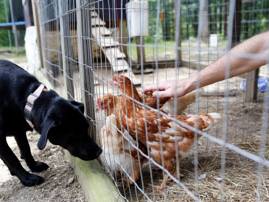 Bo Sandifer, right,  pets his chickens as his dog, named Addie, gets a closer look at their home in Brandon Friday.