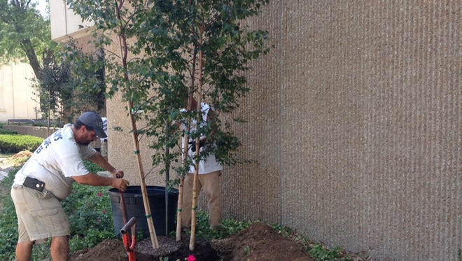 A contract crew plants a birch tree at Ivy Tech Community College's downtown Fisher Building.