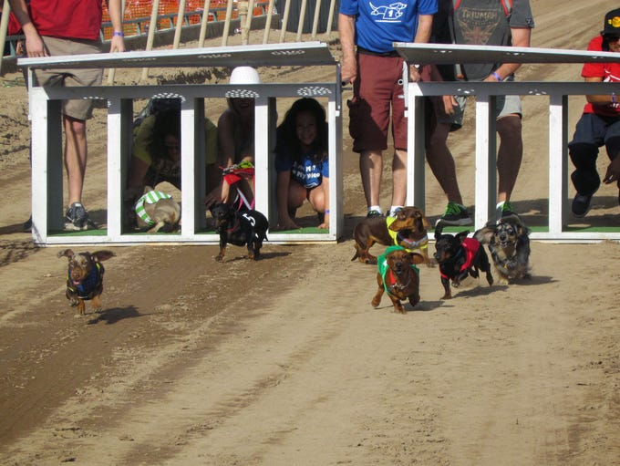Wiener dogs take over the main track at Turf Paradise