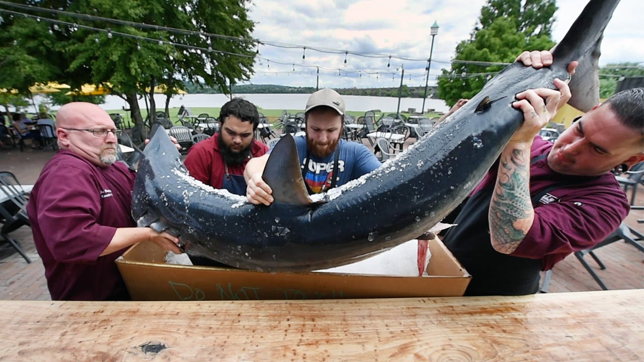 A 162-pound shark arrives at the John Wright Restaurant in Wrightsville for a special menu offering in a nod to Shark Week on Discovery Channel.
