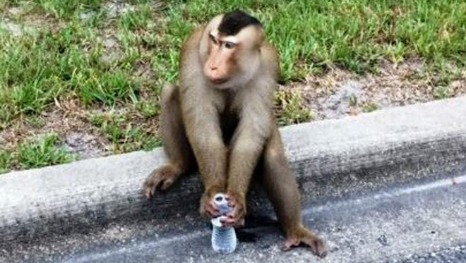 A monkey that escaped its owner's home sits on a curb drinking water that Sanford police officers offered it as a distraction after they responded to a call that a monkey was eating mail out of a maibox in Sanford, Fla., Monday, Sept. 28, 2015.
