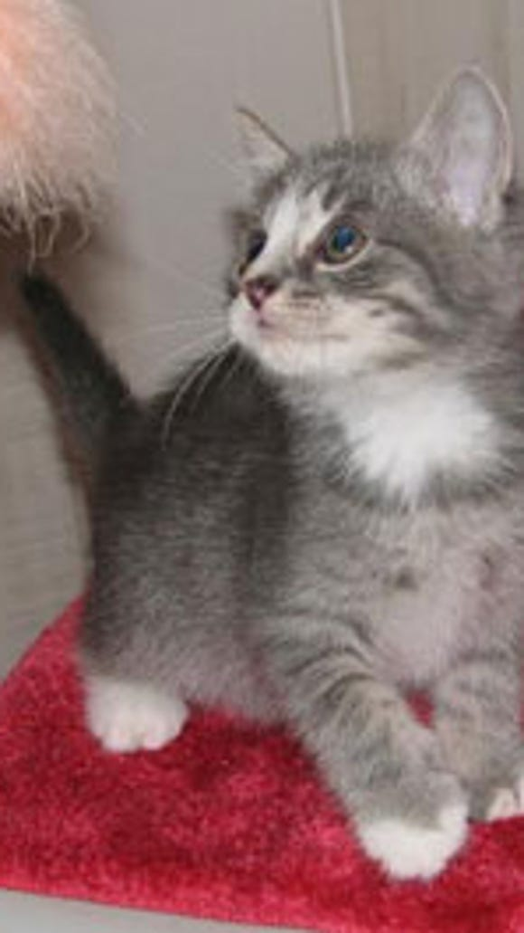 Satanta has fun running and playing with his siblings then after play he enjoys cuddling with his foster mama Darja.  Satanta loves his food and growls at the other when eating so we are feeding all of them separately.  He is very handsome with a cute pink nose that has a splash of gray.  His shelter number is AFS  94149 (Corallo kitty)