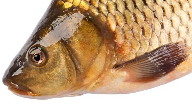 Head fish carp isolated on white background