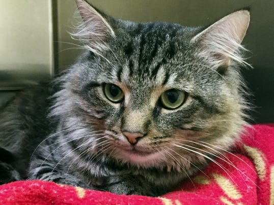 Carlos, 2?, is a? brown tabby who is ?extremely laid back.