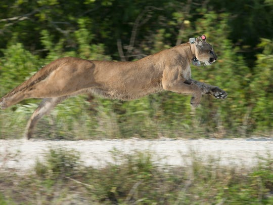 A Florida panther, rescued as a kitten, released back