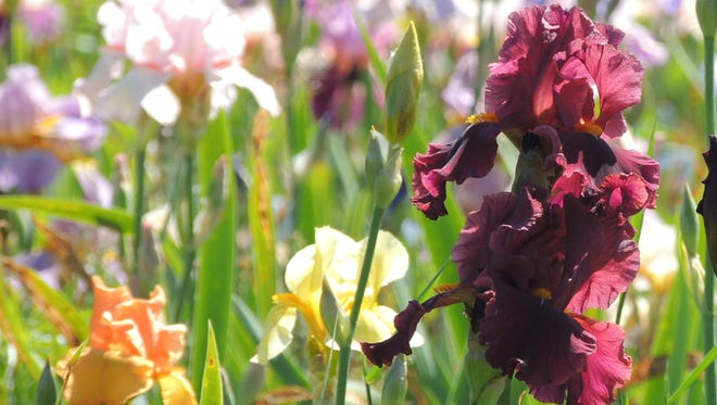 The spectacular colors and flashy flowers of irises in spring and early summer make them garden favorites.