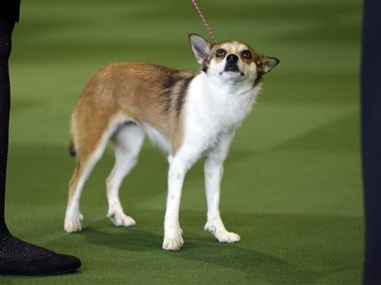 Sisi, a Norwegian Lundehund, won best in breed uncontested at the Westminster Kennel Club show in New York, Monday, Feb. 16, 2015. (AP Photo/Seth Wenig)