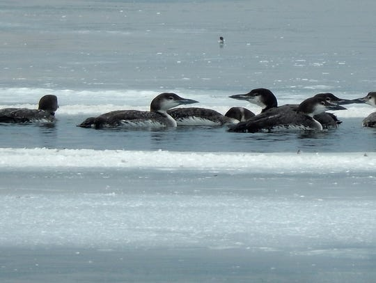 Loons float in an open pool off South Hero on Lake