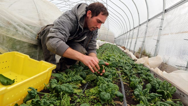 Max Zanke, 29, picks spinach Wednesday in a greenhouse at Hilltop Hanover Farm in Yorktown. He is the assistant farm manager and is among a group of young farmers working at area farms.