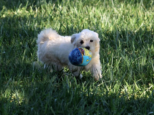 A puppy plays with a ball at a dog breeding farm in Odon, Ind. The puppy is part of Purdue's Center for Animal Welfare Science program.