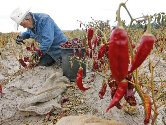 MARK LAMBIE—EL PASO TIMES  Jose Rodriguez picks red chile in a field outside Hatch Friday. The entire Rio Grande valley depends on water from the Elephant Butte reservoir which holds less than ten percent of its capacity.