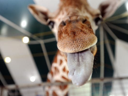 Melman, the giraffe, seen here on Thursday, Sept. 12, 2013, is one of the animal attractions at the York Fair.  YORK DAILY RECORD/SUNDAY NEWS--JASON PLOTKIN