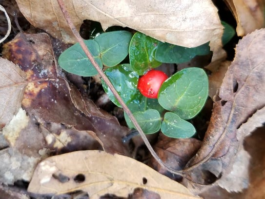 The native partridge berry plant peeks out beneath