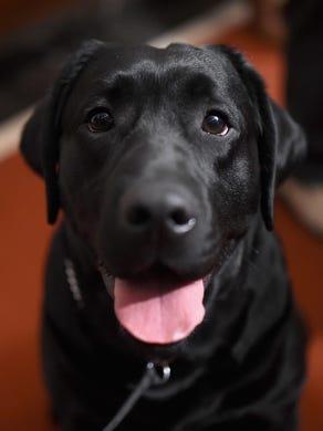 Labrador Retriever Top Us Dog Breed Again