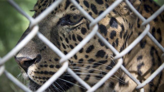 Leonardo, a jaguar-leopard mix, on Aug. 28, 2017, at the Southwest Wildlife Conservation Center near Scottsdale.