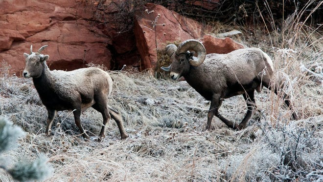FILE - In this Dec. 15, 2015, file photo, Bighorn sheep walk down a frosted hillside near U.S. Highway 44, in Rapid City, S.D. A ruling by the 9th U.S. Circuit Court of Appeals recognizing a connection between bighorn sheep die-offs and the proximity of domestic sheep could have far-reaching ramifications on federal grazing allotments in the West.(Josh Morgan /Rapid City Journal via AP, File) TV OUT; MANDATORY CREDIT