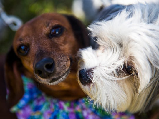 Hazel, a dachshund, plays with another dog during a special St. Francis Blessing of the Animals service on Saturday, November 26, 2016 at St. PaulÕs Episcopal Church in East Naples. The church invited the community to bring pets of all types for a special blessing in observance of St. Francis Day.