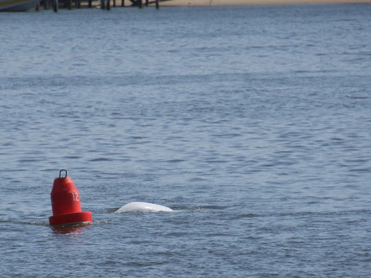 Highlands photographer Joan Bruno captured this image Sunday of one of the three beluga whales swimming in the Navesink River.