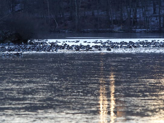 Geese out on Tarrytown Lakes near a frozen patch Dec.