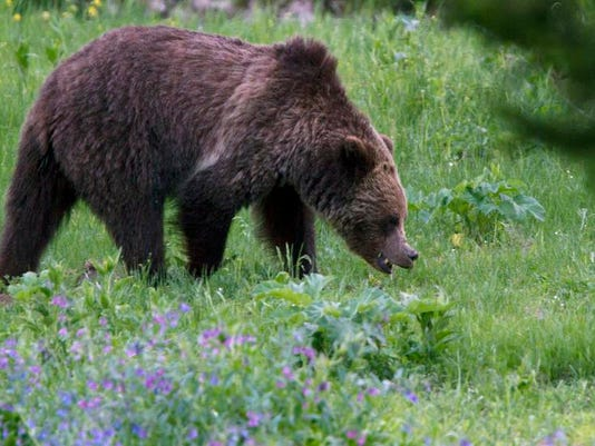 -Yellowstone Grizzlies_Drak.jpg_20130624.jpg