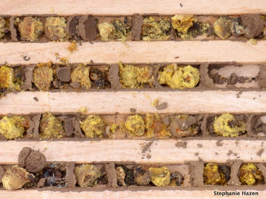 The yellow material is pollen that was not eaten because the larva failed to mature.    Carpet beetles, seen in the second row from the top, infested the bee colony, and the mason bees failed to mature, leaving many cells of uneaten pollen.