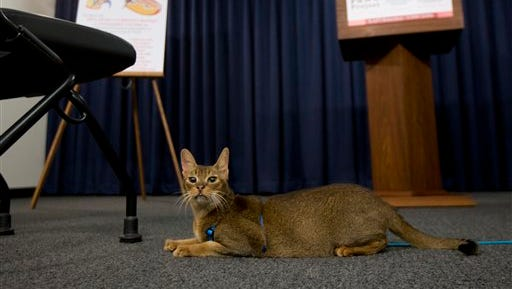 A cat named Rubio rests in front of the podium before a news conference on Tuesday, May 17, 2016, in Albany, N.Y.