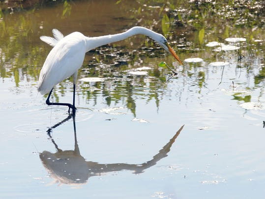 PTCBrd_08-21-2014_NewsHerald_1_A003~~2014~08~20~IMG_egret_feature_photo._1_1.jpg
