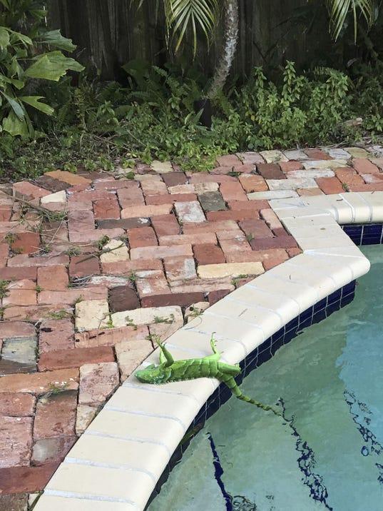 frozen iguanas
