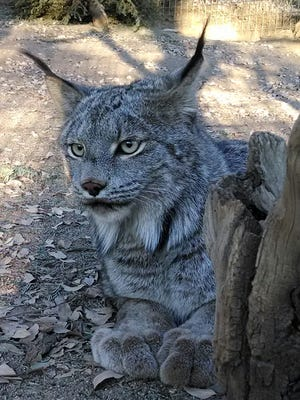 Eh is a Canada lynx from Cat Haven.
