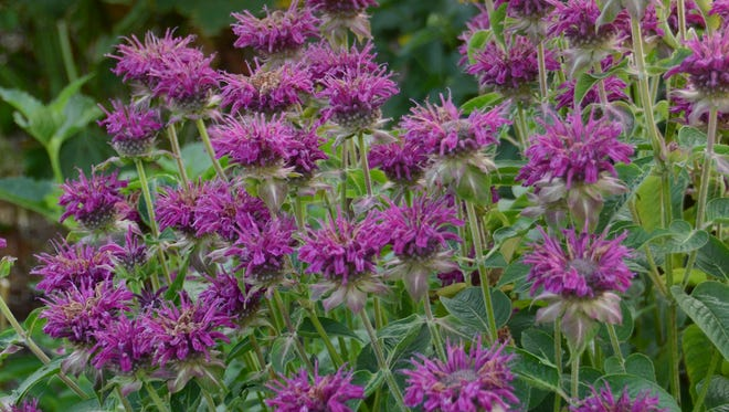 'Purple Rooster' bee balm exhibited excellent resistance to powdery mildew, earning it four stars in the Mt. Cuba Center's evaluation program.