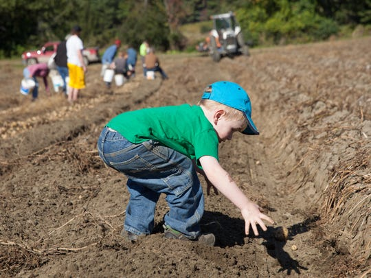 "Jacob Parrott, 4, from Barre, reaches for a stray potato at the Chapelle Family's ""Pick your own potato"" day in Williamstown.  September 27th, 2015.  KEVIN HURLEY/for the FREE PRESS"
