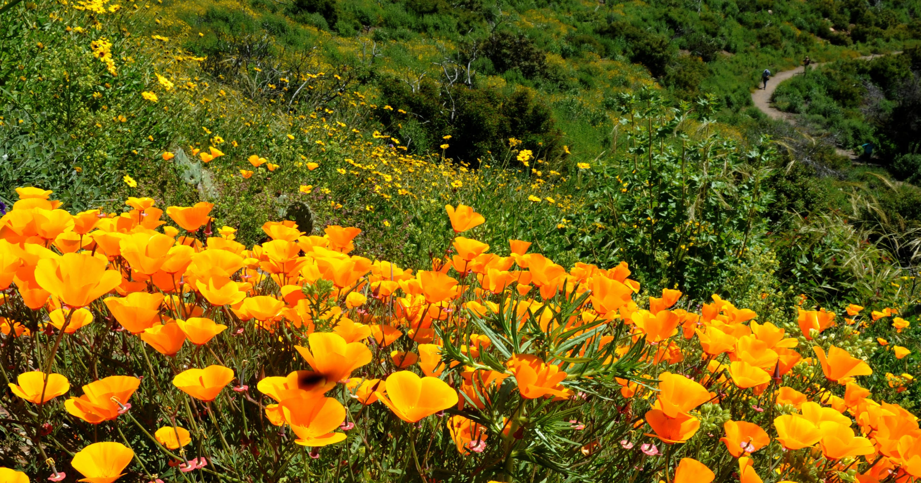 Ventura County super bloom: 'Get out there soon'