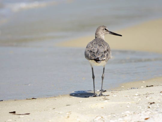 Take notice and protect the vegetation and wildlife, like this sandpiper strolling down the beach.
