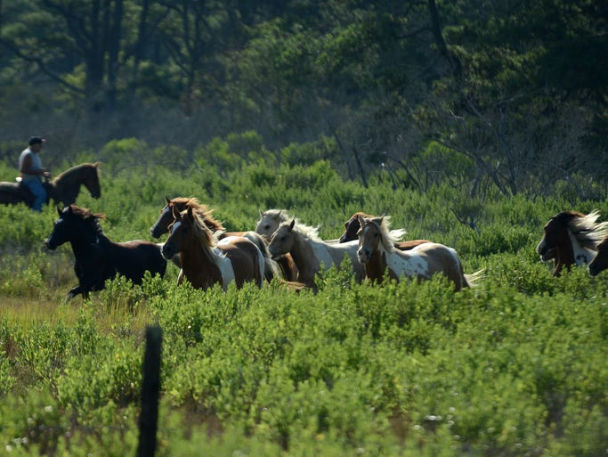 Members of the southern herd of Chincoteague Ponies are led to their corral on Assateague Island, Va. on Saturday, July 26, 2014 during the annual roundup. The ponies will remain penned there until the annual Chincoteague Pony Swim on Wednesday.