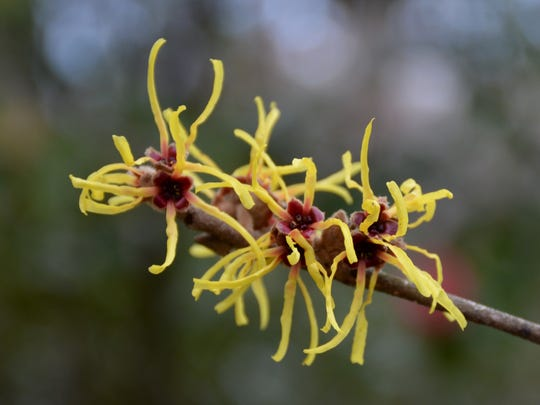 The spicy-scented flowers of witch hazel Wisley Supreme