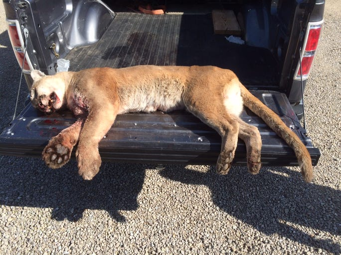 The mountain lion troopers had to euthanize on I-44