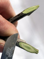Using a grafting knife, cuts are made in branches to