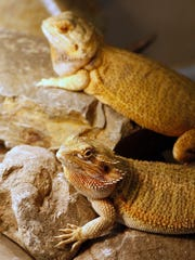 Sherrie Baldwin operates a bearded dragon rescue out of her East Salem home in a photograph taken on Wednesday, Aug. 6, 2014. Recently she brought one back to life using CPR.