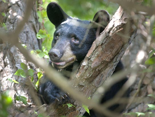 A young black bear in downtown Fort Walton Beach, Fla.