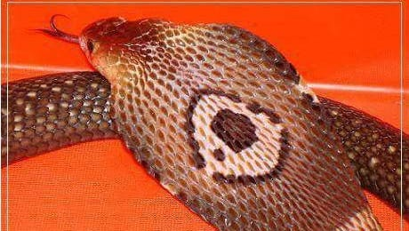 This 5-foot Asian monocled cobra escaped from its enclosure on Friday.