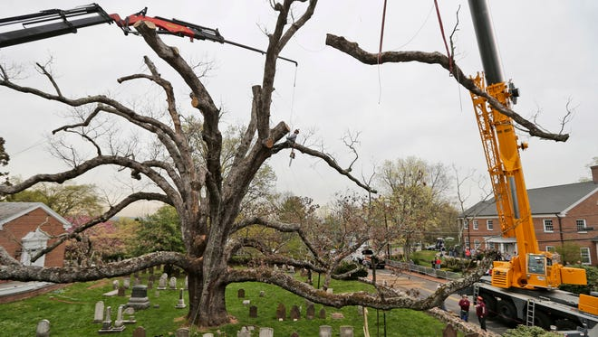 A large branch is lifted away from an oak tree in Basking Ridge, N.J., Monday, April 24, 2017.