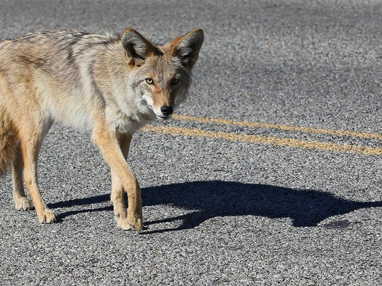 A hungry coyote begs for food from passing vehicles on the main road through Joshua Tree National Park, Wednesday, October 29, 2014.