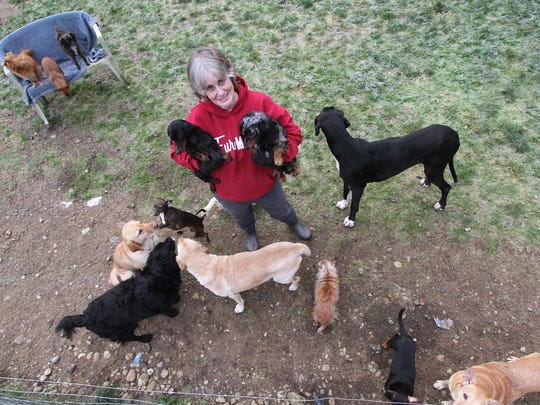 When Victoria Carnahan takes a moment to greet her dogs, she draws a crowd.  She is the owner of 83 dogs who live with her on her 5 acres on Elfendahl Pass Road near Belfair. While her neighbors are upset, law enforcement and animal officials say she's breaking no laws.
