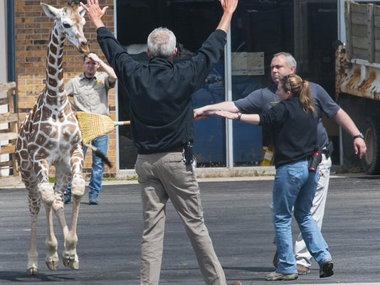 Fort Wayne Zoo Giraffe Escape