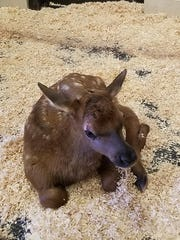 Lucky the elk, born in a traffic accident, has been
