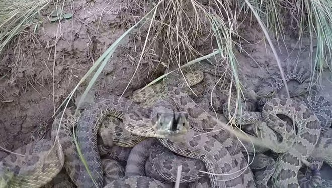 A man lowered a GoPro into a pit of rattlesnakes.